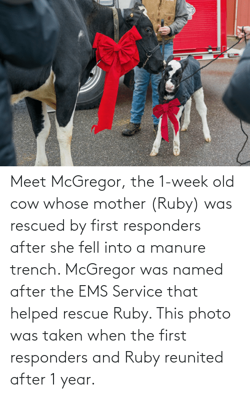 ems: Meet McGregor, the 1-week old cow whose mother (Ruby) was rescued by first responders after she fell into a manure trench. McGregor was named after the EMS Service that helped rescue Ruby. This photo was taken when the first responders and Ruby reunited after 1 year.