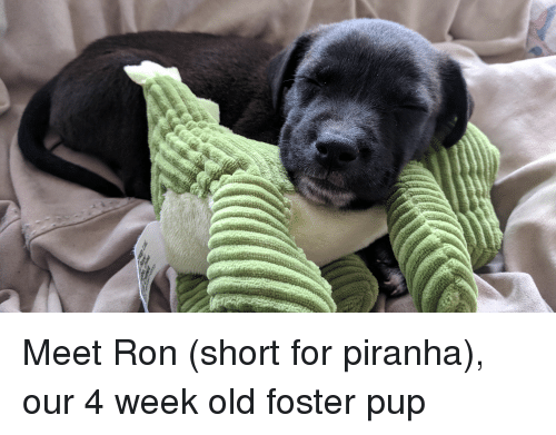 Border Collie, Old, and Pup: Meet Ron (short for piranha), our 4 week old foster pup