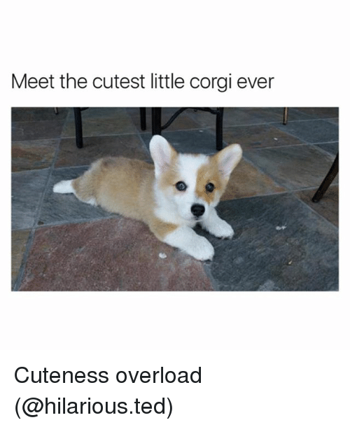 corgy: Meet the cutest little corgi ever Cuteness overload (@hilarious.ted)