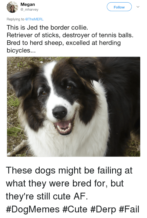 Cute AF: Megan  @_mharvey  Follow  Replying to @TheMERL  This is Jed the border collie  Retriever of sticks, destroyer of tennis balls.  Bred to herd sheep, excelled at herding  bicycles.. These dogs might be failing at what they were bred for, but they're still cute AF. #DogMemes #Cute #Derp #Fail