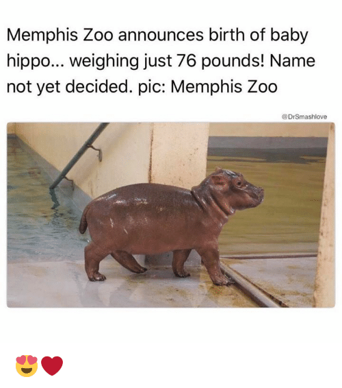 Hippoe: Memphis Zoo announces birth of baby  hippo... weighing just 76 pounds! Name  not yet decided. pic: Memphis Zoo  @Dr Smashlove 😍❤️