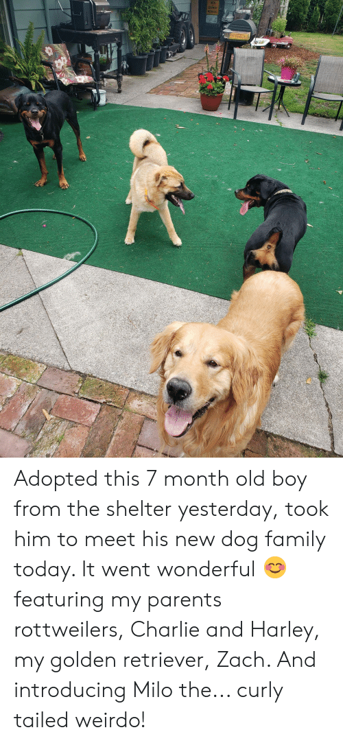 zach and: MEN  EQUIPMENT  WORKING Adopted this 7 month old boy from the shelter yesterday, took him to meet his new dog family today. It went wonderful 😊 featuring my parents rottweilers, Charlie and Harley, my golden retriever, Zach. And introducing Milo the... curly tailed weirdo!