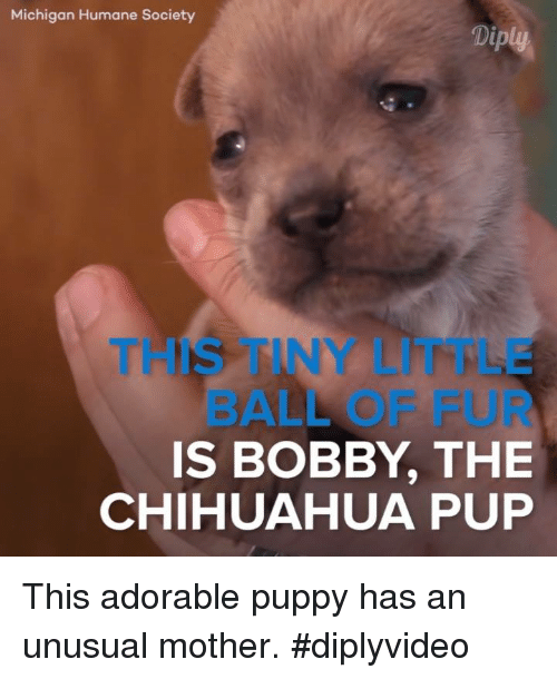 Chihuahua, Memes, and Humane Society: Michigan Humane Society  Diply  IS BOBBY THE  CHIHUAHUA PUP This adorable puppy has an unusual mother. #diplyvideo
