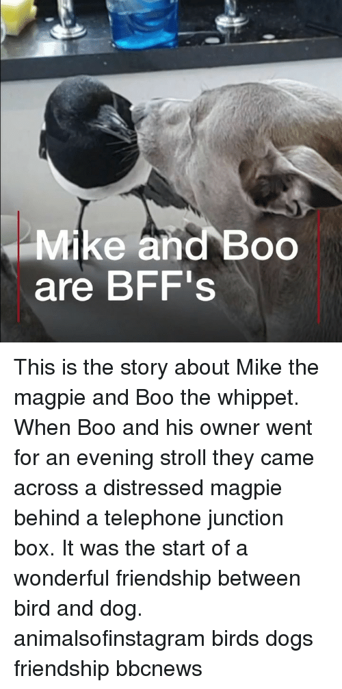 distressed: Mike and Boo  are BFF's This is the story about Mike the magpie and Boo the whippet. When Boo and his owner went for an evening stroll they came across a distressed magpie behind a telephone junction box. It was the start of a wonderful friendship between bird and dog. animalsofinstagram birds dogs friendship bbcnews