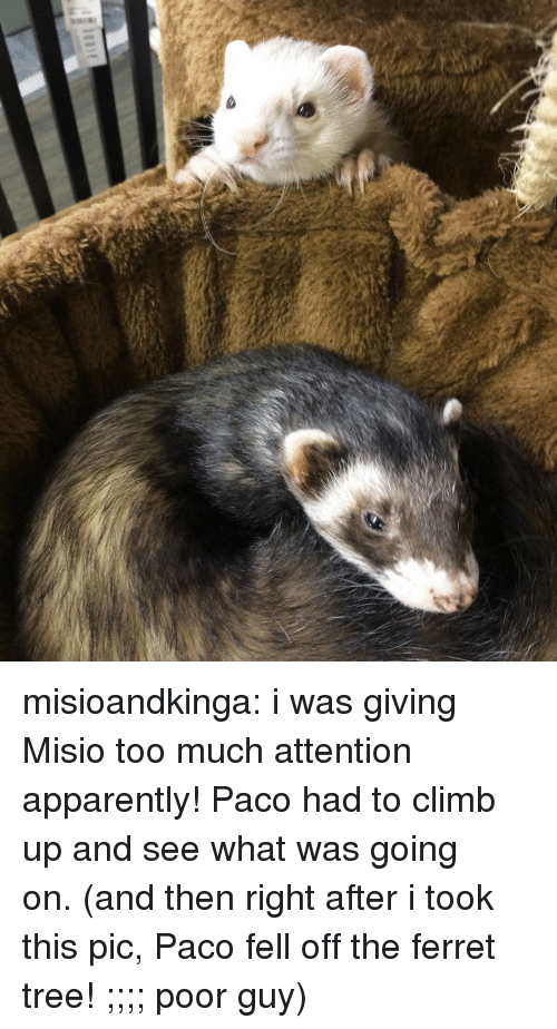 Ferret: misioandkinga:  i was giving Misio too much attention apparently! Paco had to climb up and see what was going on.(and then right after i took this pic, Paco fell off the ferret tree! ;;;; poor guy)