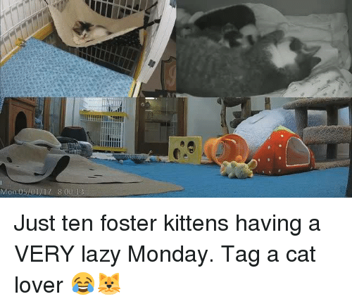 cat lover: Mon 05/01/17 800 Just ten foster kittens having a VERY lazy Monday. Tag a cat lover 😂🐱