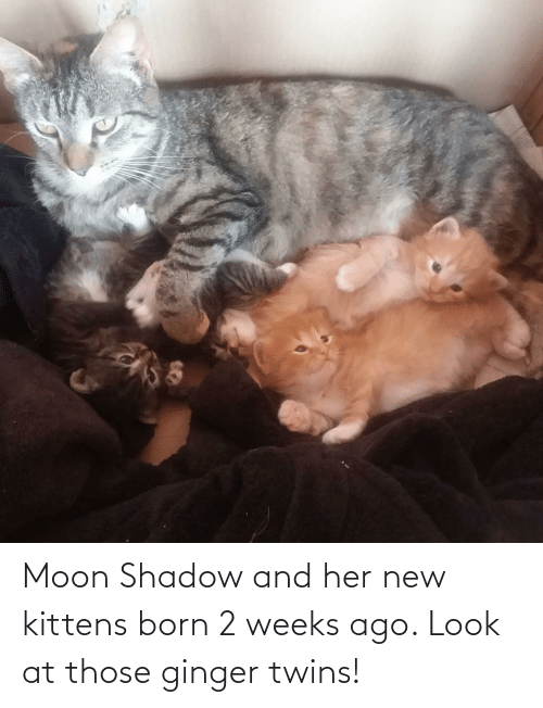 Twins: Moon Shadow and her new kittens born 2 weeks ago. Look at those ginger twins!