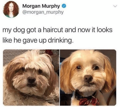 Dank, Drinking, and Haircut: Morgan Murphy  @morgan_murphy  my dog got a haircut and now it looks  like he gave up drinking