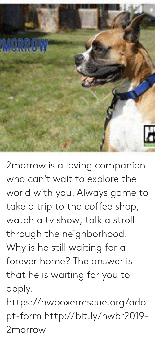 Memes, Coffee, and Forever: MORROW 2morrow is a loving companion who can't wait to explore the world with you. Always game to take a trip to the coffee shop, watch a tv show, talk a stroll through the neighborhood.  Why is he still waiting for a forever home? The answer is that he is waiting for you to apply.  https://nwboxerrescue.org/adopt-form  http://bit.ly/nwbr2019-2morrow