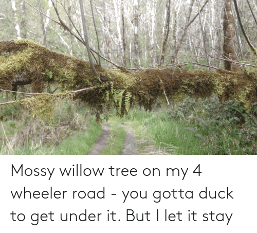 willow: Mossy willow tree on my 4 wheeler road - you gotta duck to get under it. But I let it stay