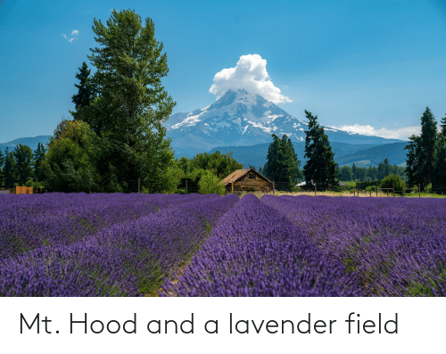 Lavender: Mt. Hood and a lavender field