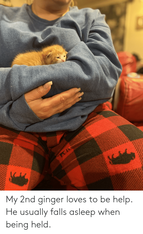 ginger: My 2nd ginger loves to be help. He usually falls asleep when being held.