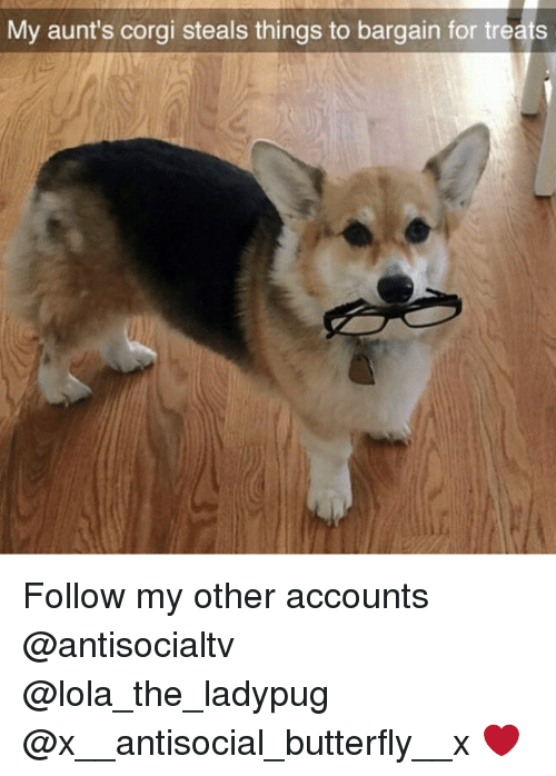 corgy: My aunt's corgi steals things to bargain for treats Follow my other accounts @antisocialtv @lola_the_ladypug @x__antisocial_butterfly__x ❤️