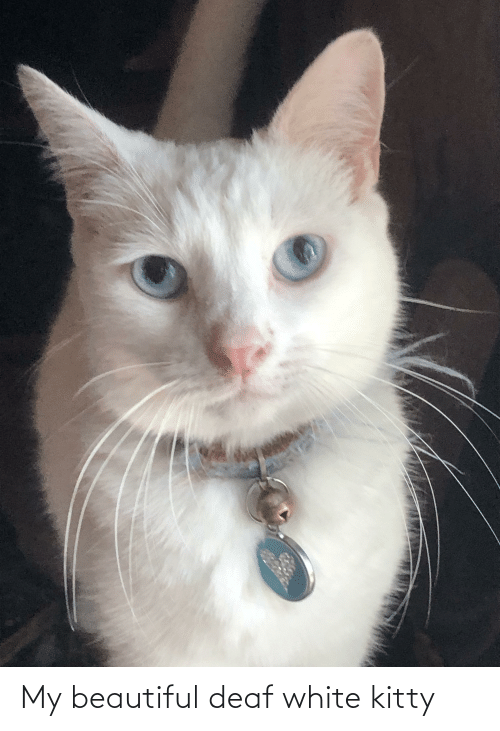 deaf: My beautiful deaf white kitty