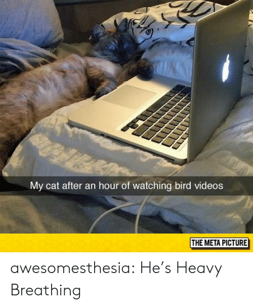 heavy breathing: My cat after an hour of watching bird videos  THE META PICTURE awesomesthesia:  He's Heavy Breathing