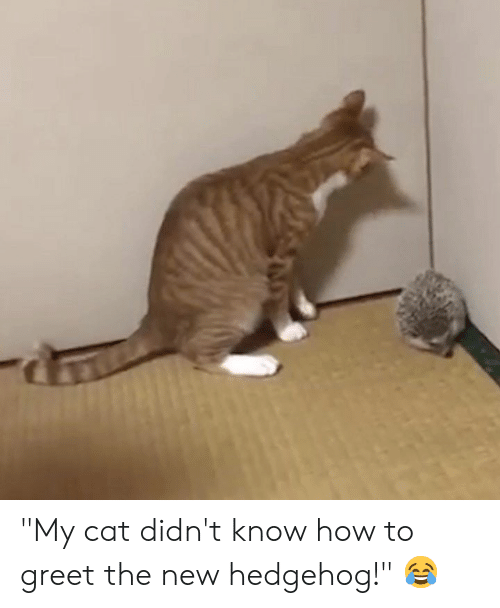 "Hedgehog: ""My cat didn't know how to greet the new hedgehog!"" 😂"