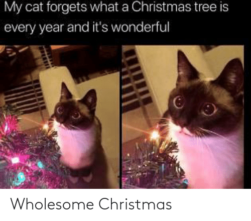 Christmas: My cat forgets what a Christmas tree is  every year and it's wonderful Wholesome Christmas