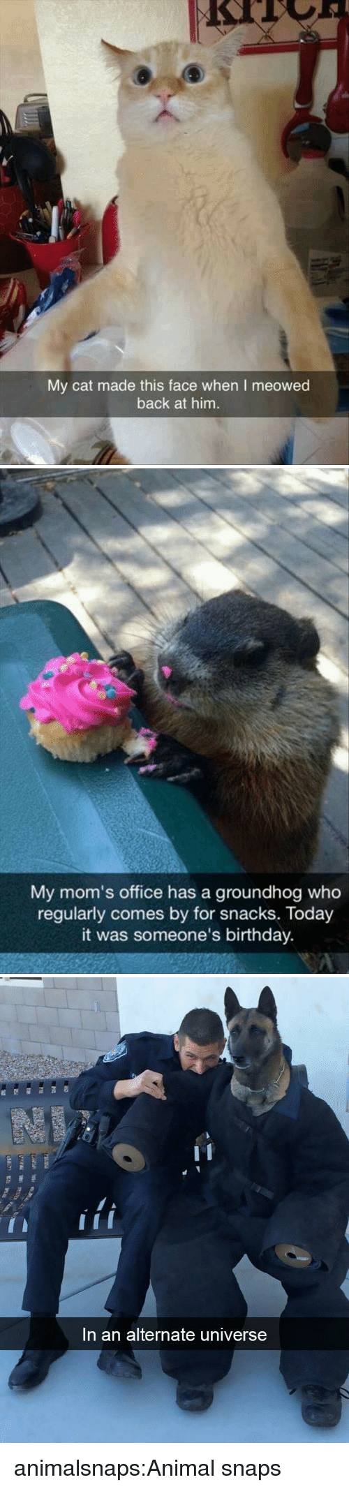 groundhog: My cat made this face when I meowed  back at him.   My mom's office has a groundhog who  regularly comes by for snacks. Today  it was someone's birthday.   In an alternate universe animalsnaps:Animal snaps