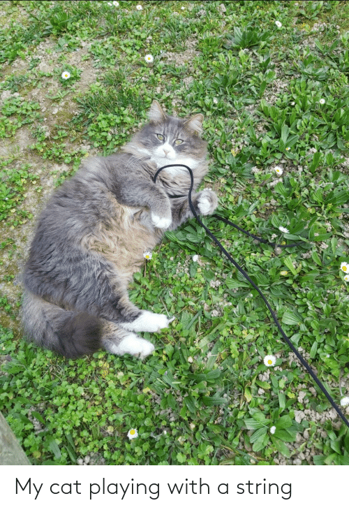 Aww Memes: My cat playing with a string
