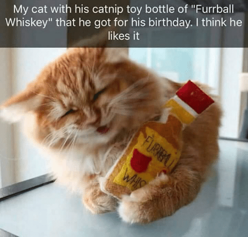 "catnip: My cat with his catnip toy bottle of ""Furrball  Whiskey"" that he got for his birthday. I think he  likes it"