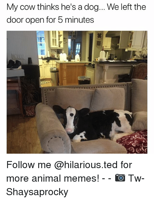 Funny, Memes, and Ted: My cow thinks he's a dog... We left the  door open for 5 minutes Follow me @hilarious.ted for more animal memes! - - 📷 Tw-Shaysaprocky
