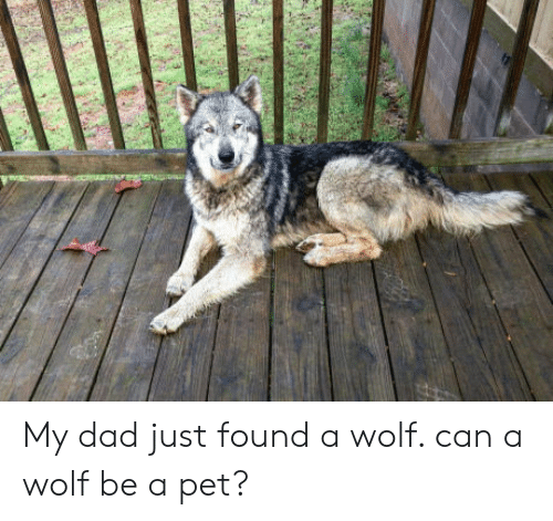 Foundly: My dad just found a wolf. can a wolf be a pet?