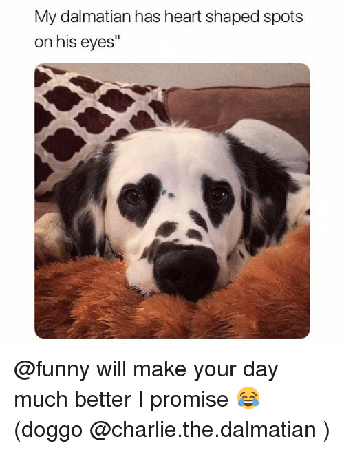 """Charlie, Funny, and Heart: My dalmatian has heart shaped spots  on his eyes"""" @funny will make your day much better I promise 😂 (doggo @charlie.the.dalmatian )"""