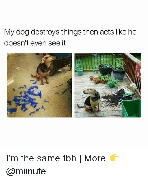 Same Tbh: My dog destroys things then acts like he  doesn't even see it I'm the same tbh | More 👉 @miinute