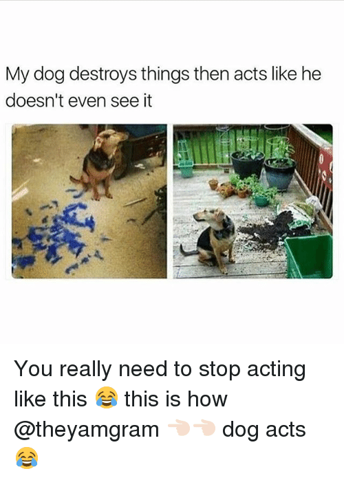 Acting Like This: My dog destroys things then acts like he  doesn't even see it You really need to stop acting like this 😂 this is how @theyamgram 👈🏻👈🏻 dog acts 😂