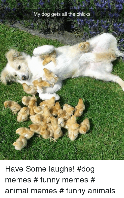 Funny animals: My dog gets all the chicks Have Some laughs!  #dog memes # funny memes # animal memes # funny animals