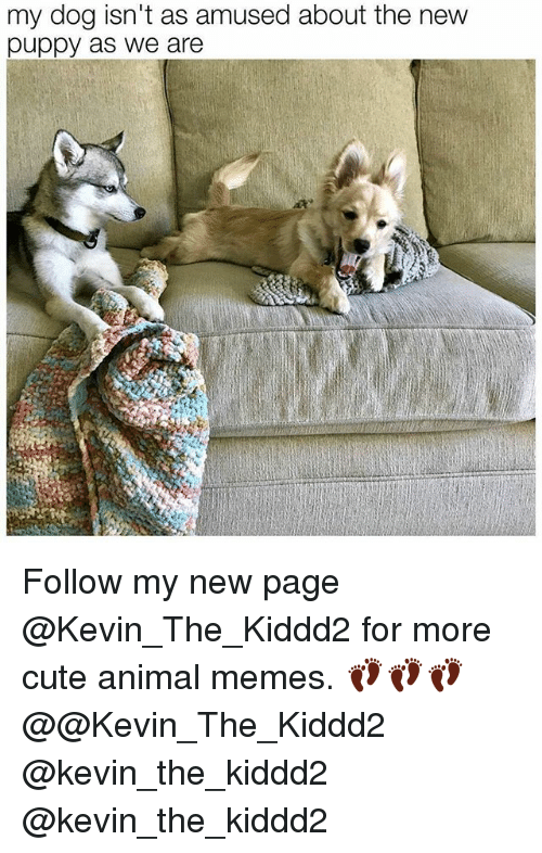 Cute, Memes, and Animal: my dog isn't as amused about the new  puppy as we are Follow my new page @Kevin_The_Kiddd2 for more cute animal memes. 👣👣👣 @@Kevin_The_Kiddd2 @kevin_the_kiddd2 @kevin_the_kiddd2