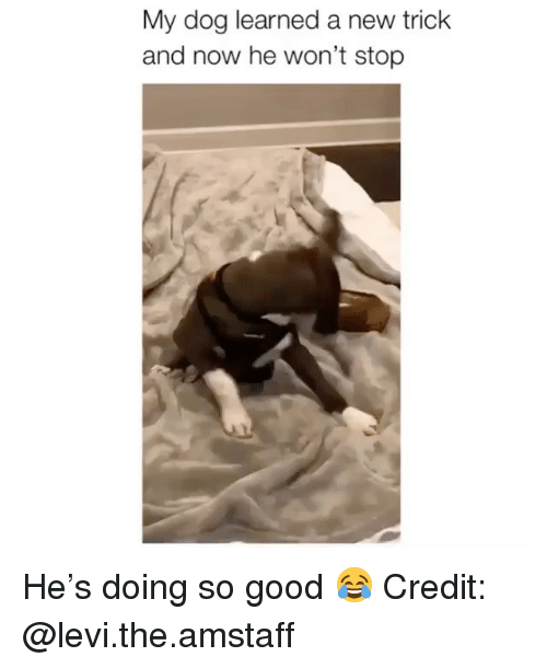 levi: My dog learned a new trick  and now he won't stop He's doing so good 😂 Credit: @levi.the.amstaff