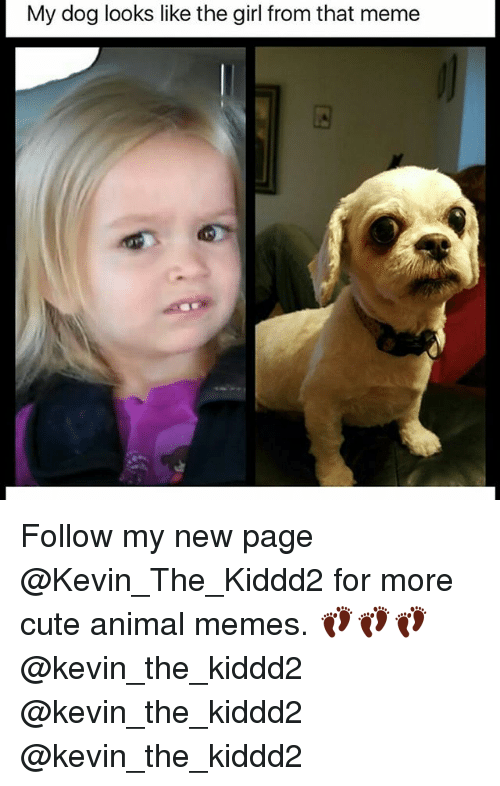 Cute, Meme, and Memes: My dog looks like the girl from that meme Follow my new page @Kevin_The_Kiddd2 for more cute animal memes. 👣👣👣@kevin_the_kiddd2 @kevin_the_kiddd2 @kevin_the_kiddd2