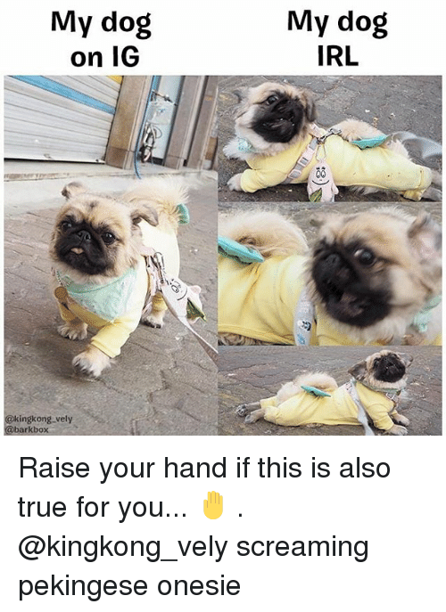 Dog IRL: My dog  on IG  My dog  IRL  @kingkong vely  @barkbox Raise your hand if this is also true for you... 🤚 . @kingkong_vely screaming pekingese onesie