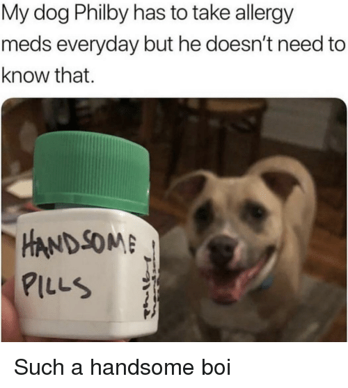 Boi, Dog, and Handsome: My dog Philby has to take allergy  meds everyday but he doesn't need to  know that.  -HANDSOME  PILLS Such a handsome boi