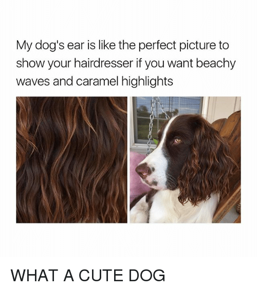 Cute, Dogs, and Waves: My dog's ear is like the perfect picture to  show your hairdresser if you want beachy  waves and caramel highlights WHAT A CUTE DOG