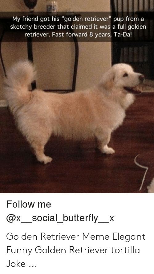 """Funny, Meme, and Butterfly: My friend got his """"golden retriever"""" pup from a  sketchy breeder that claimed it was a full golden  retriever. Fast forward 8 years, Ta-Da!  Follow me  @xsocial_butterfly_x Golden Retriever Meme Elegant Funny Golden Retriever tortilla Joke ..."""