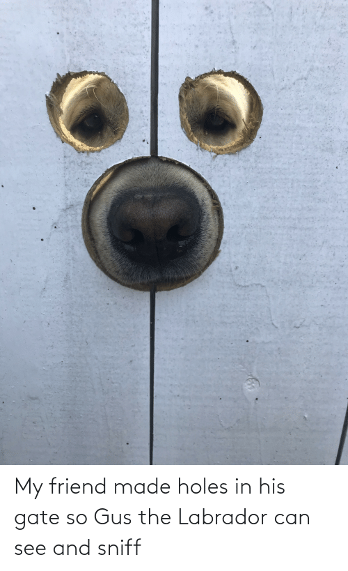 labrador: My friend made holes in his gate so Gus the Labrador can see and sniff