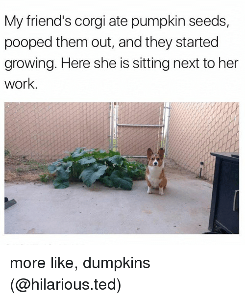 corgy: My friend's corgi ate pumpkin seeds,  pooped them out, and they started  growing. Here she is sitting next to her  work. more like, dumpkins (@hilarious.ted)
