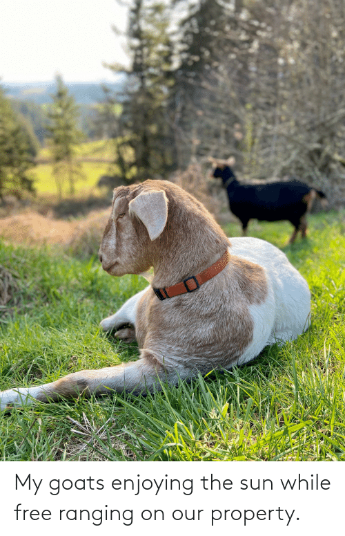 Aww Memes: My goats enjoying the sun while free ranging on our property.