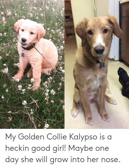 Heckin Good: My Golden Collie Kalypso is a heckin good girl! Maybe one day she will grow into her nose.