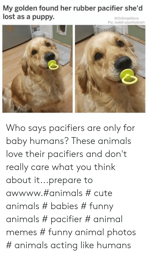 Animals, Cute, and Cute Animals: My golden found her rubber pacifier she'd  lost as a puppy.  @DrSmashlove  Pic: reddit ujumbobrain Who says pacifiers are only for baby humans? These animals love their pacifiers and don't really care what you think about it...prepare to awwww.#animals # cute animals # babies # funny animals # pacifier # animal memes # funny animal photos # animals acting like humans