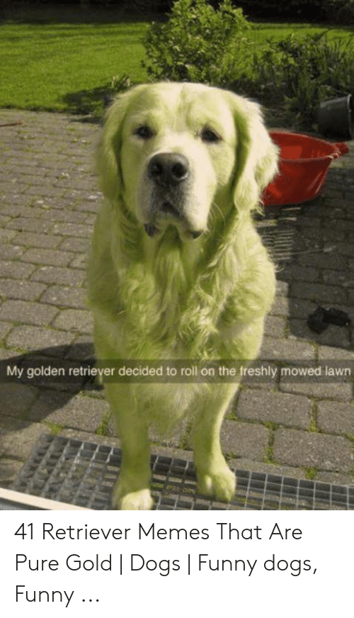 Dogs, Funny, and Memes: My golden retriever decided to roll on the freshly mowed lawn 41 Retriever Memes That Are Pure Gold   Dogs   Funny dogs, Funny ...