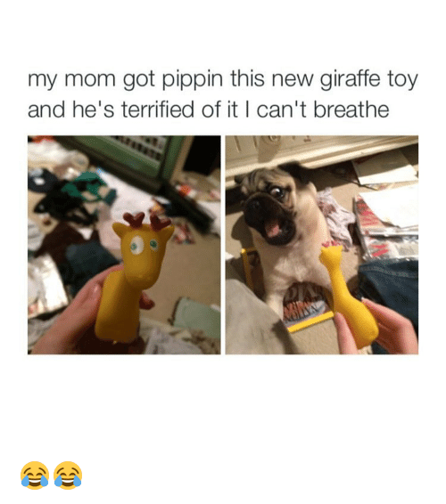Pippin: my mom got pippin this new giraffe toy  and he's terrified of it I can't breathe 😂😂