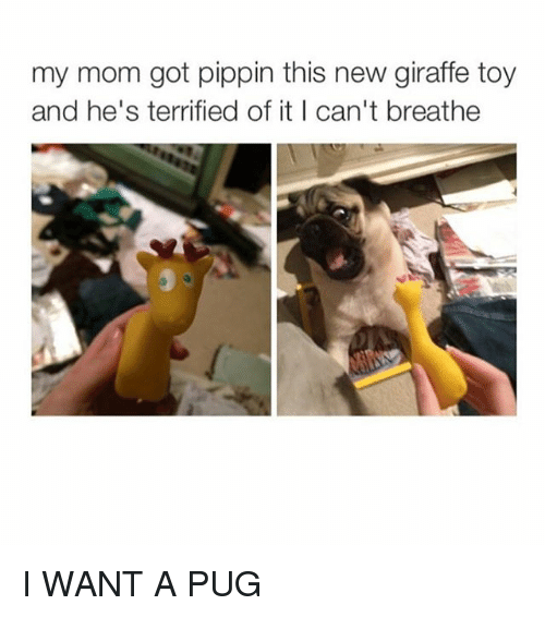Pippin: my mom got pippin this new giraffe toy  and he's terrified of it I can't breathe I WANT A PUG