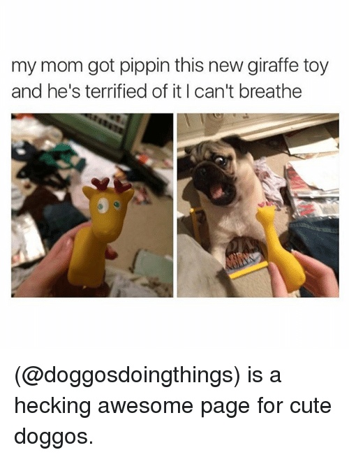 Pippin: my mom got pippin this new giraffe toy  and he's terrified of it I can't breathe (@doggosdoingthings) is a hecking awesome page for cute doggos.