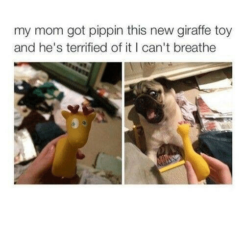 Pippin: my mom got pippin this new giraffe toy  and he's terrified of it I can't breathe
