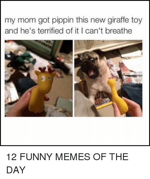 Pippin: my mom got pippin this new giraffe toy  and he's terrified of it I can't breathe 12 FUNNY MEMES OF THE DAY