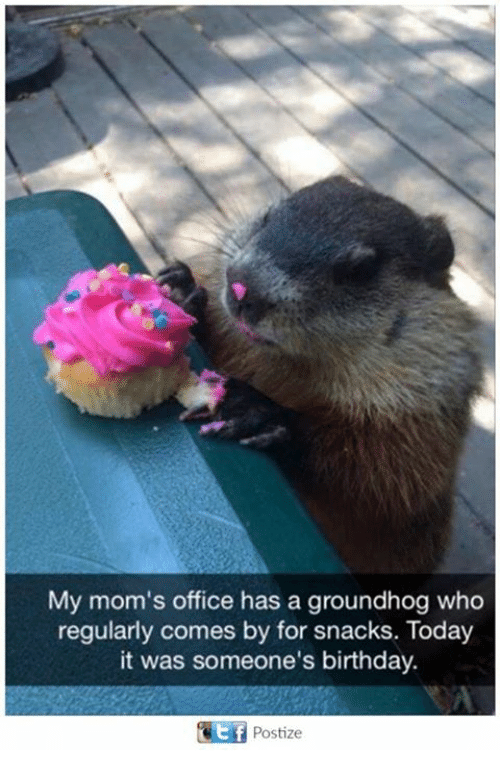 groundhog: My mom's office has a groundhog who  regularly comes by for snacks. Today  it was someone's birthday.  Postize