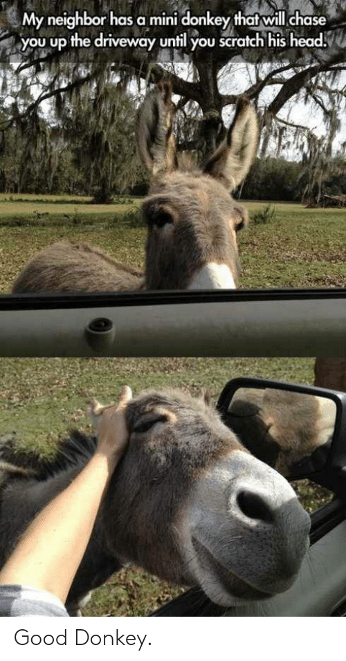 Chase You: My neighbor has a mini donkey thatwill chase  you up the driveway until you scratch his head Good Donkey.